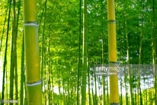 bamboo grove - 竹 ストックフォトと画像
