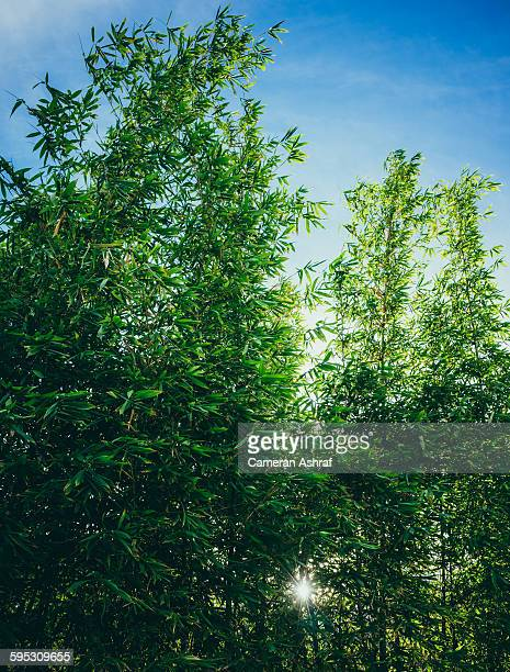 Bamboo grove with sunlight