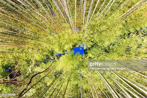 Bamboo groves at Arashiyama, Kyoto, Japan