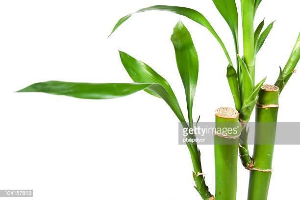 Bambus, isoliert auf Weiß 3