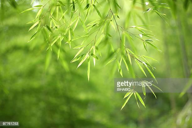 folha de bambu - folha de bambu - fotografias e filmes do acervo