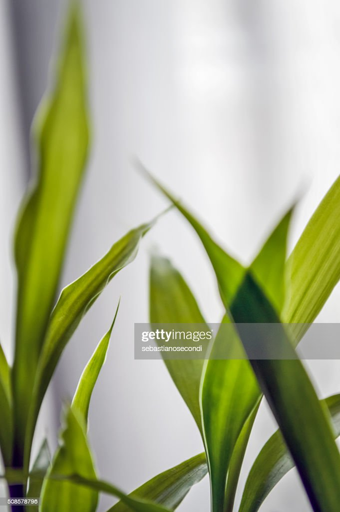 bamboo leaves close up : Stock Photo