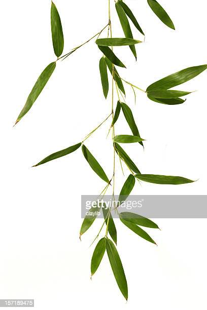 bamboo leaves isolated in white - feng shui stock photos and pictures