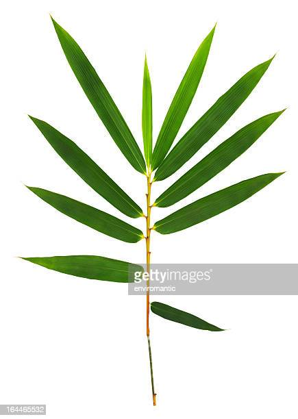 bamboo leaves isolated on white with clipping path. - tropical bush stock pictures, royalty-free photos & images