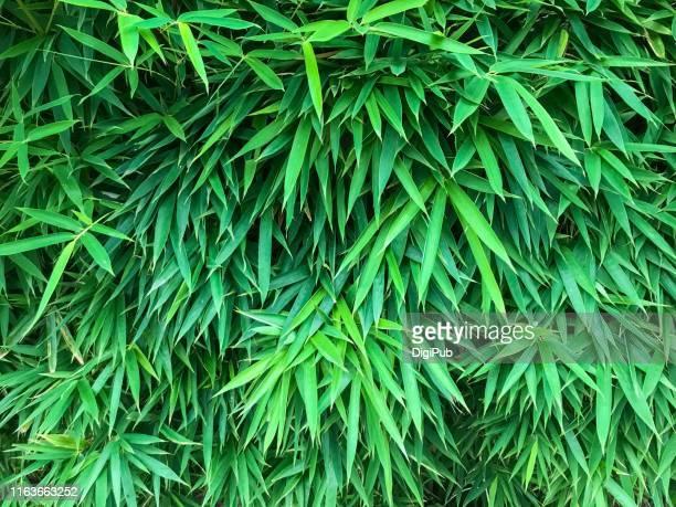 bamboo leaves - folha de bambu - fotografias e filmes do acervo