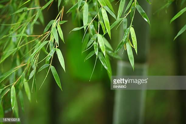 folhas de bambu - folha de bambu - fotografias e filmes do acervo