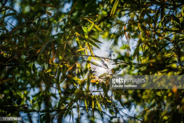 bamboo leaves under the sunlight - edward berthelot photos et images de collection
