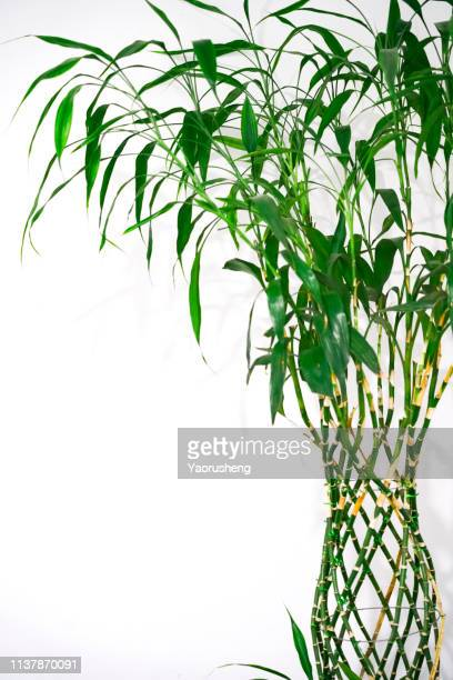 bamboo leaves,isolated on a white background, - 生い茂る ストックフォトと画像