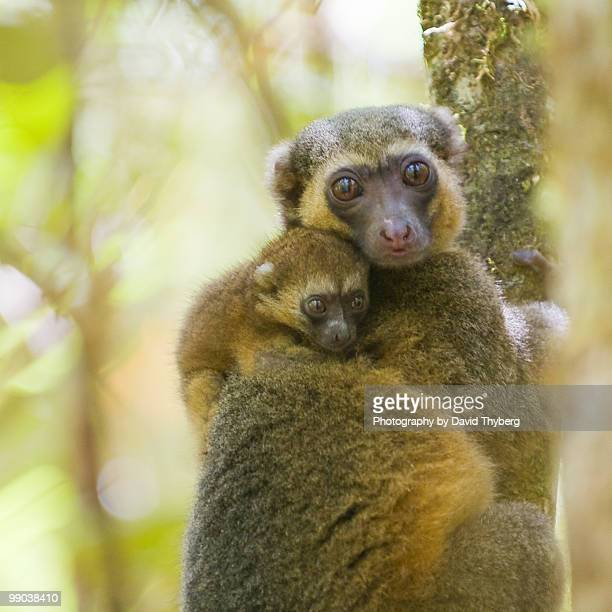 bamboo lemur with kid - ranomafana national park stock photos and pictures