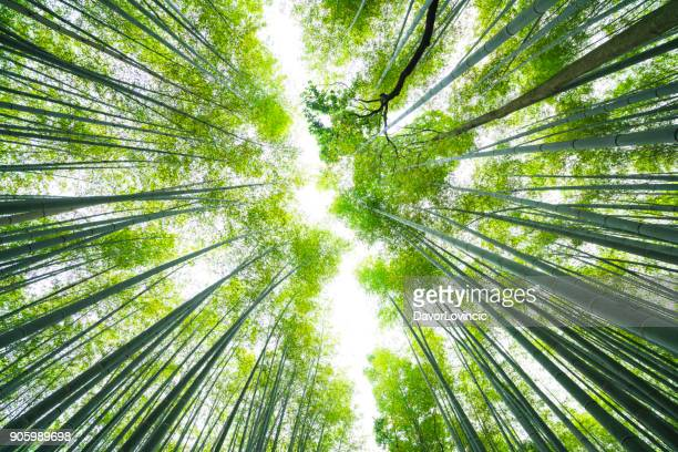 bamboo line in the sky at bamboo forest, kyoto, japan - bamboo plant stock photos and pictures
