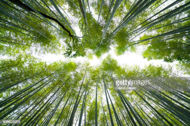 bamboo line to the sky at bamboo forest, kyoto, japan - bamboo material stock photos and pictures