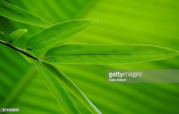 bamboo on banana leaf all green