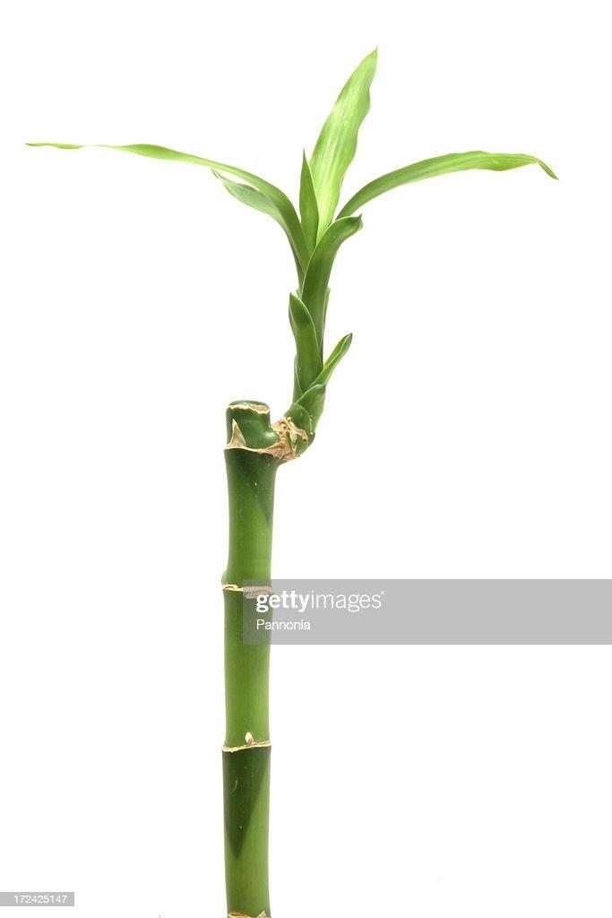 Bamboo on white : Stock Photo