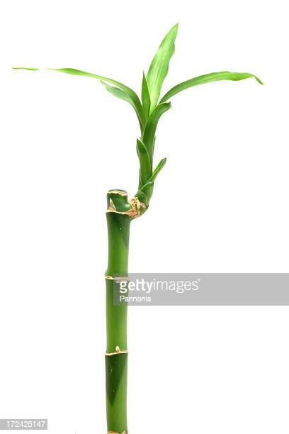 bamboo on white - bamboo stock photos and pictures