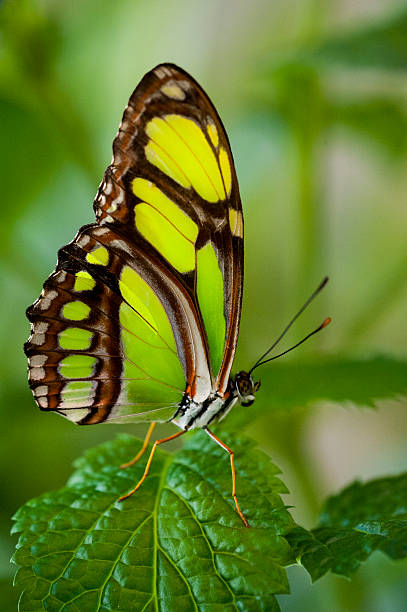 Bamboo Page Butterfly (Philaethria dido)