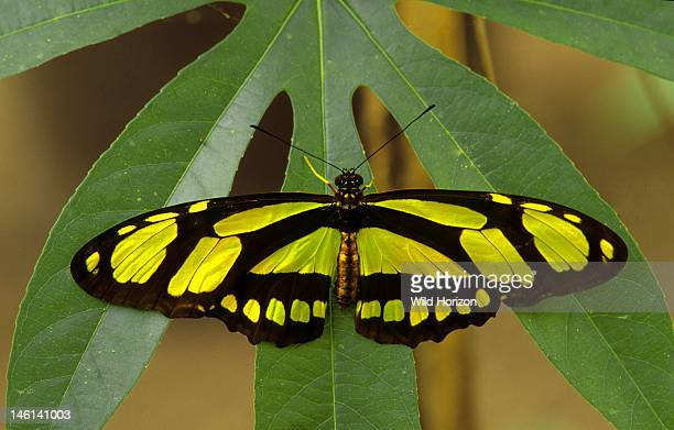 Bamboo page butterfly resting on a passion vine leaf Philaethria dido Native to Mexico Central America and northern South America Butterfly farm La...