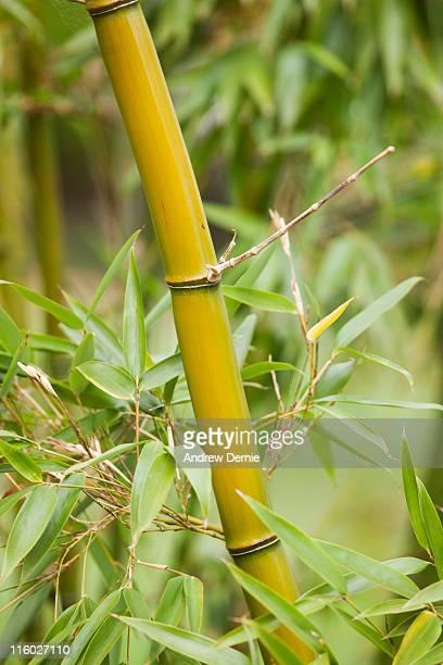 bamboo - andrew dernie foto e immagini stock