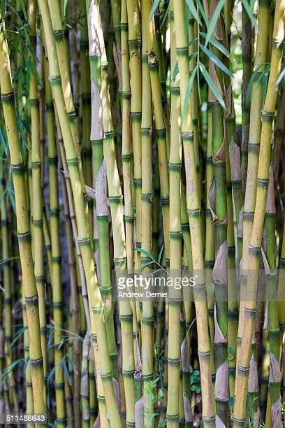 bamboo - andrew dernie ストックフォトと画像