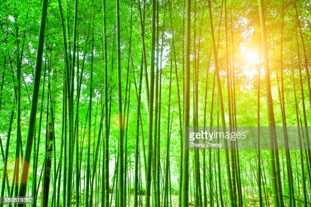 bamboo - bamboo forest stock photos and pictures