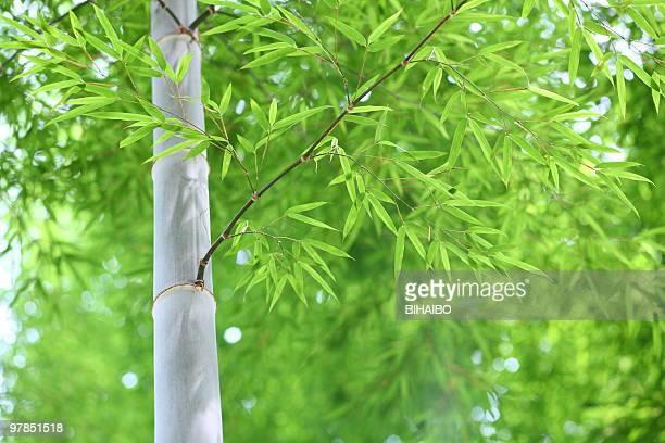 bambu - folha de bambu - fotografias e filmes do acervo