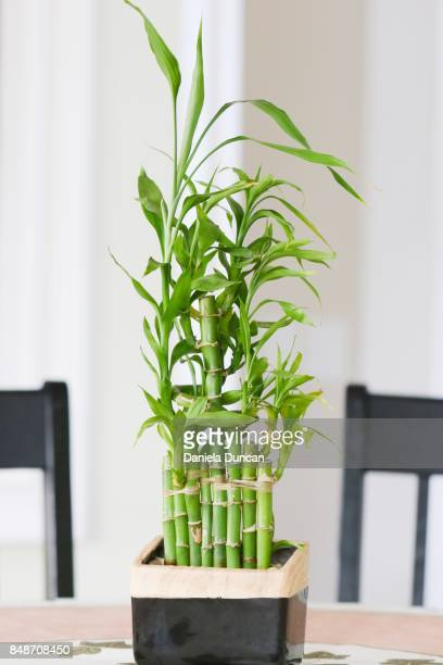 Bamboo plant indoor