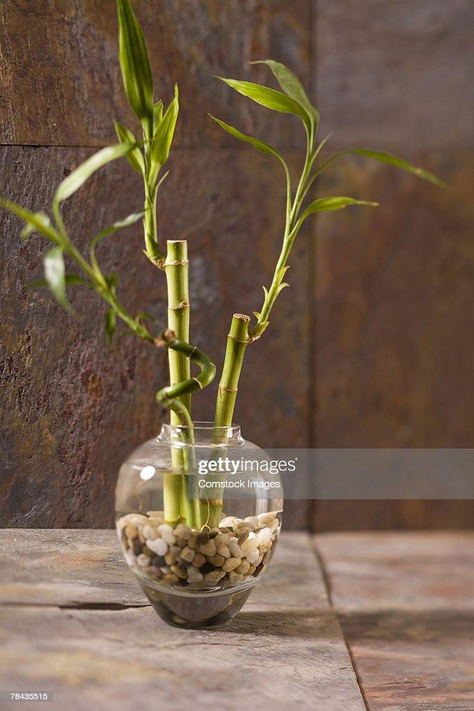 Bamboo plant : Stockfoto