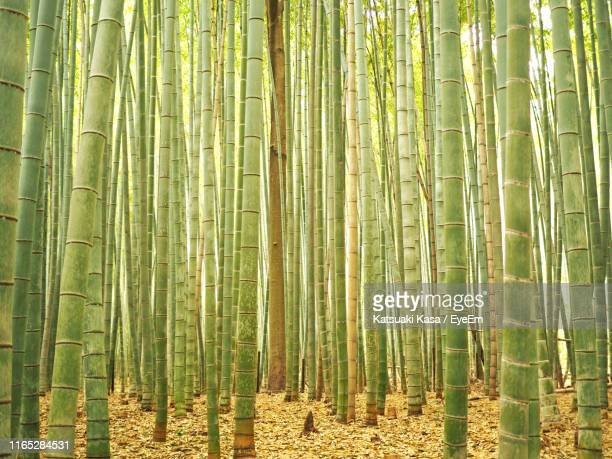 bamboo plants in forest - arashiyama stock pictures, royalty-free photos & images