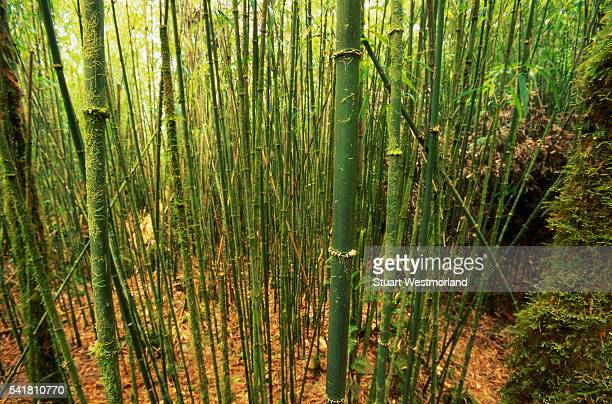 bamboo plants in waipi'o valley in hawaii - waipio valley stockfoto's en -beelden