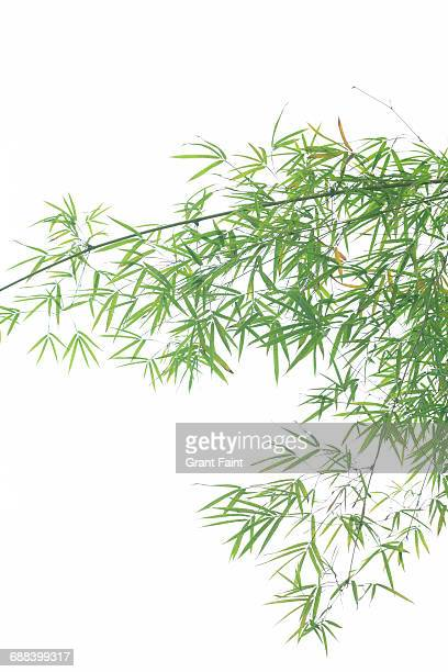 bamboo tree. - bamboo stock photos and pictures