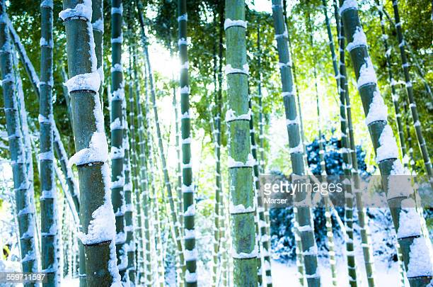 Bamboo trees covered with snow