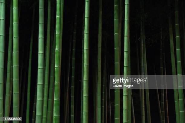 bamboo trees growing in forest at night - bamboo stock photos and pictures