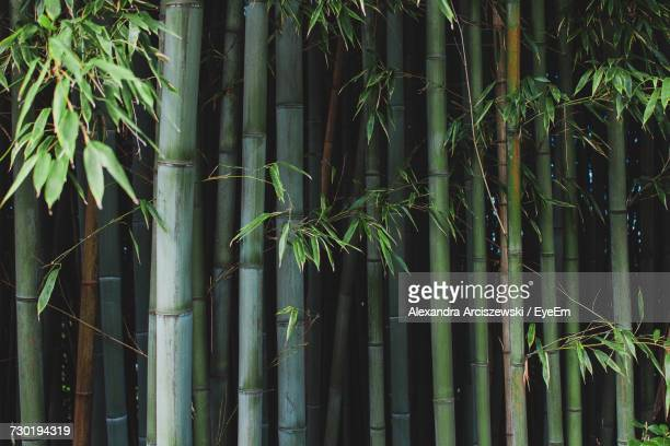 bamboo trees in park - bamboo forest stock photos and pictures