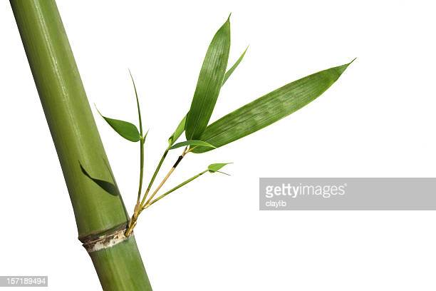 bamboo with perfect new shoots