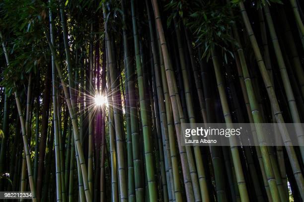 bamboo-sun