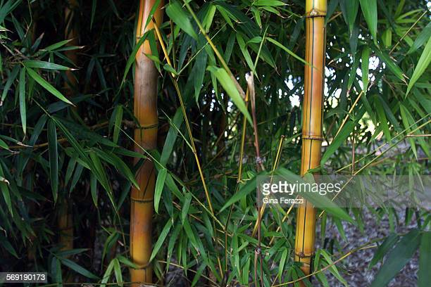 Bambusa Vulgaris Vittata Common Bamboo at Quail Gardens in Encinitas