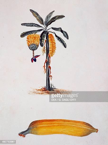 Banana and banana plant illustration by JulesLouis Le Jeune Tahiti 19th century
