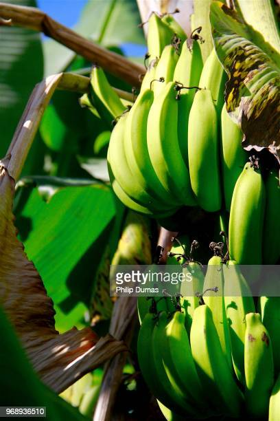 banana bunch close-up (musa) - banana tree stock pictures, royalty-free photos & images