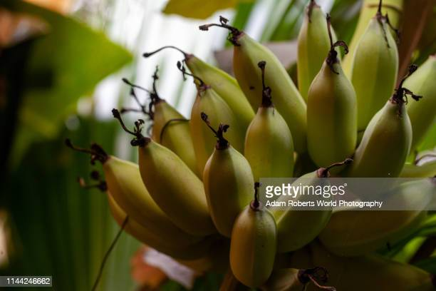 banana bunch on tree in shadow - banana tree stock pictures, royalty-free photos & images