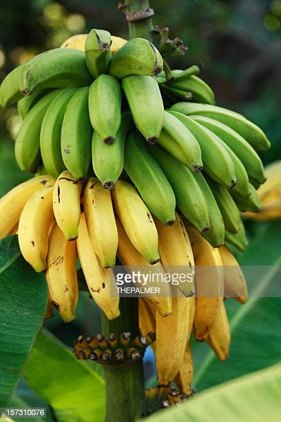 banana bunch - banana tree stock pictures, royalty-free photos & images