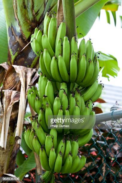 banana  bunch (musa) - unripe stock pictures, royalty-free photos & images