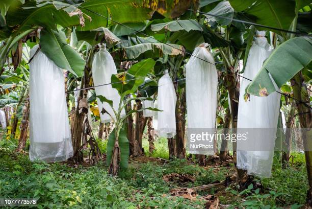 Banana farm in Vang Vieng Laos in December 2018 Since the end of the 90s Vang Vieng has been opened as a tourist site for western backpackers The...