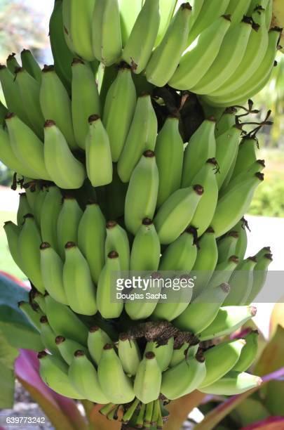 Banana fruits growing on a tropical tree (genus Musa)