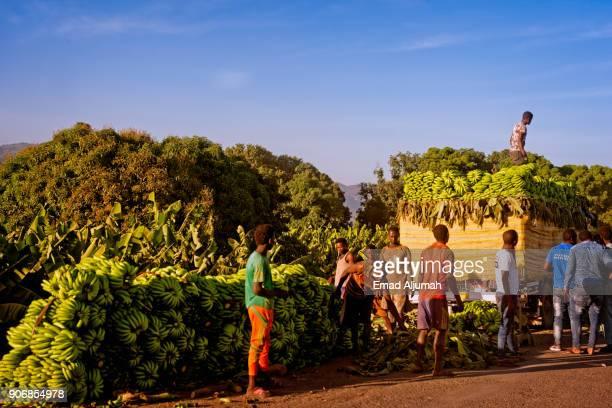 Banana Harvest, Ethiopia - December 15, 2017