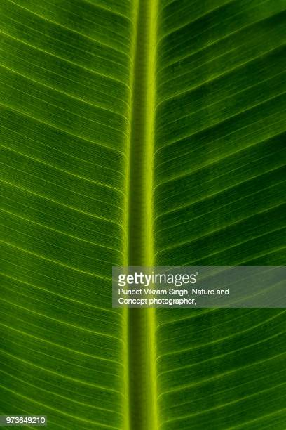 banana leaf abstract shot - banana tree stock pictures, royalty-free photos & images