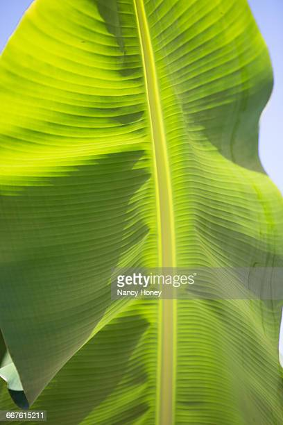 Banana leaf on sunny day