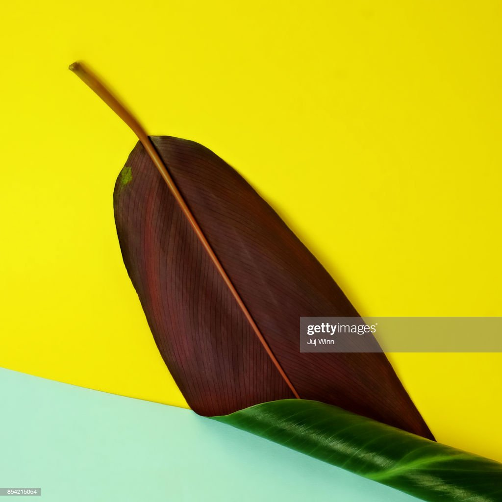 Banana Leaf on Yellow and Teal Background : Stock Photo