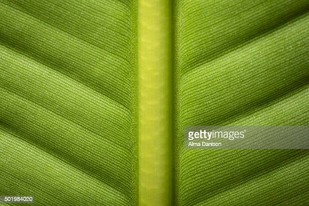 banana leaf (vertical spine) - alma danison stock photos and pictures