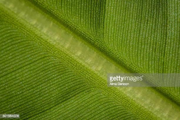 banana leaf (diagonal spine) - alma danison fotografías e imágenes de stock