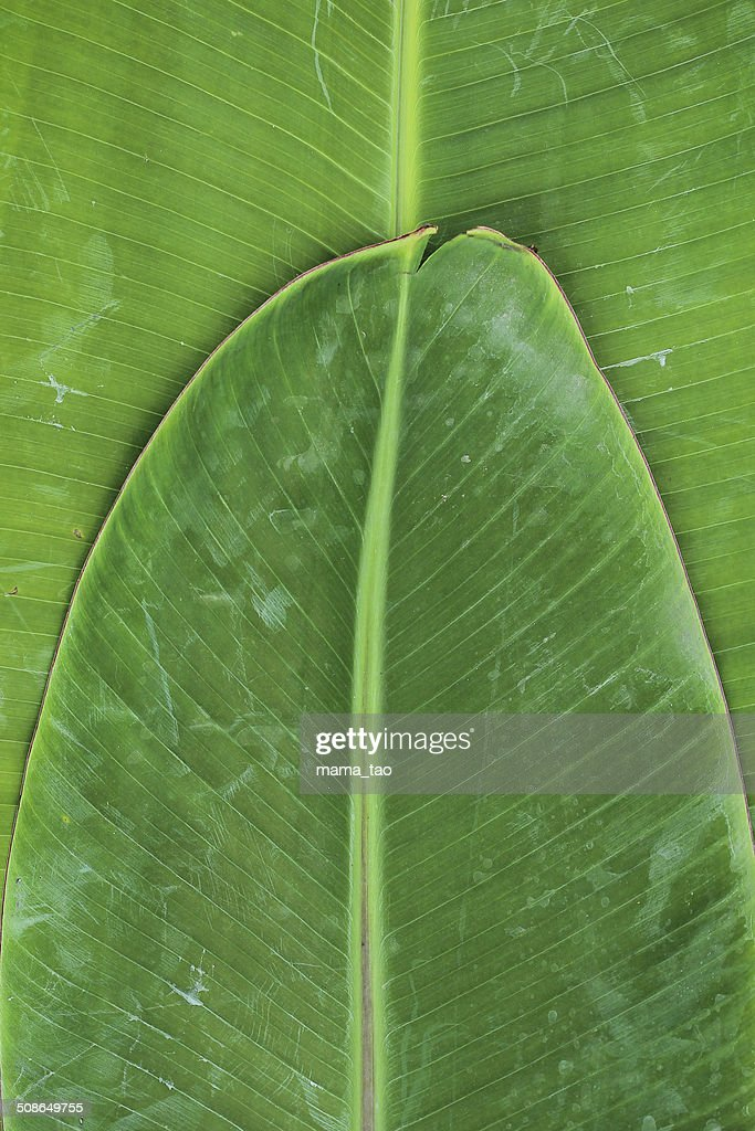 Banana leaf : Stock Photo