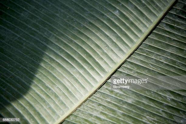A banana leaf sits in the kitchen of Gaggan restaurant in Bangkok Thailand on Friday May 5 2017 After his restaurant's third straight win in Asia's...